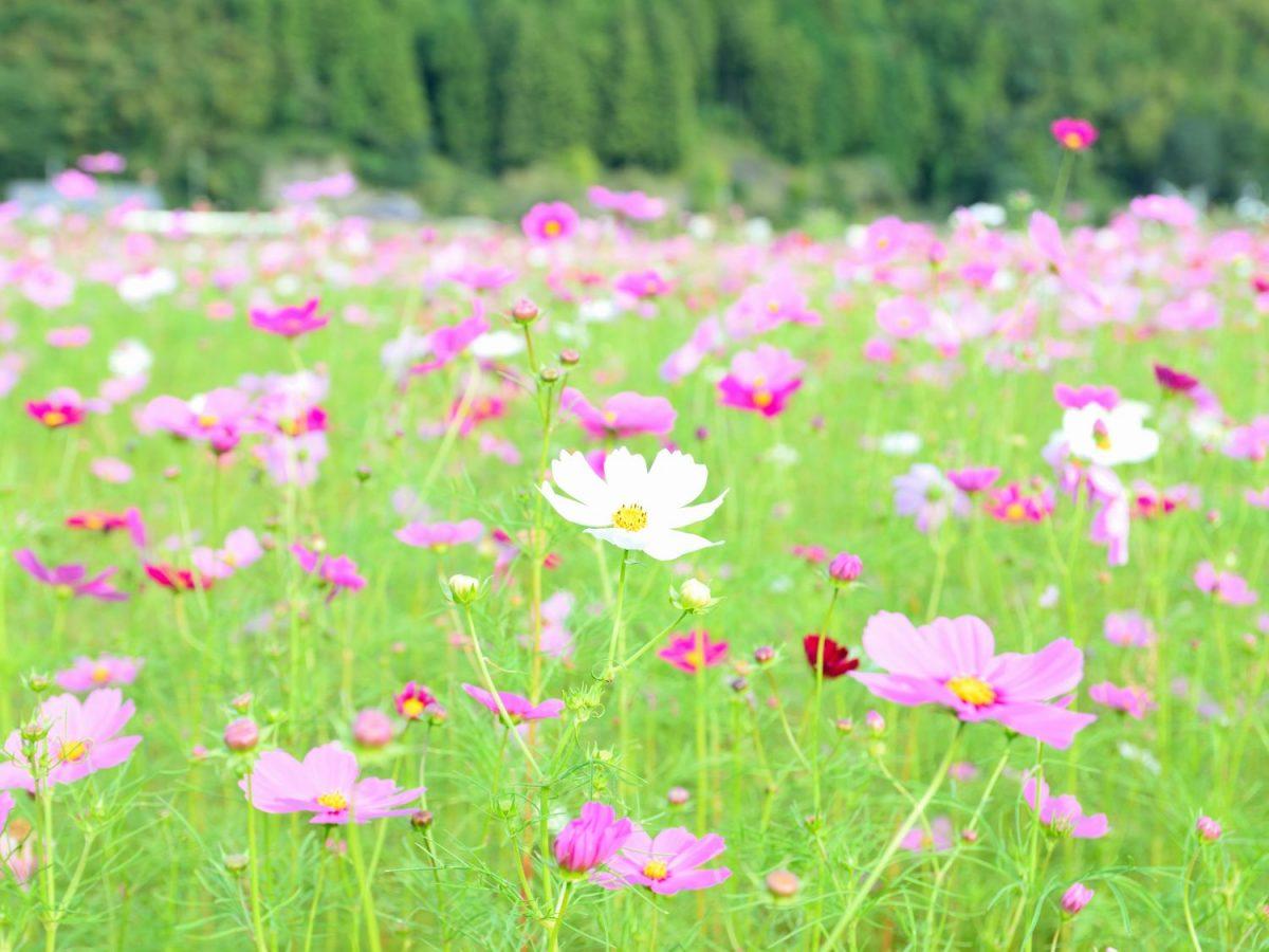 岡部町のコスモス畑が地域の呼び水に!? 休耕田から生まれた新たな秋の風物詩