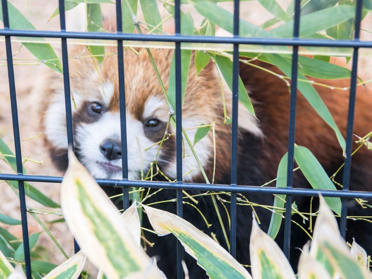 風太くんは静岡生まれ&昔から立っていた? スターレッサーパンダにまつわる噂の真実