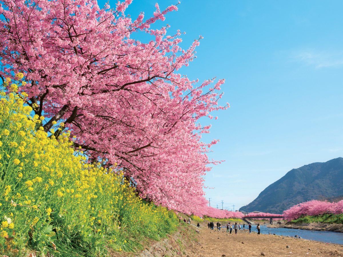 早咲き「河津桜」から回る伊豆絶景旅プラン! 渋滞知らずのドライブコースで贅沢な寄り道を
